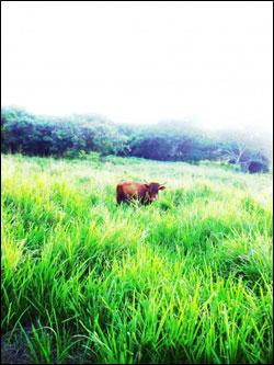 Barbados-Cow