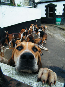 Ireland-hunt-dogs