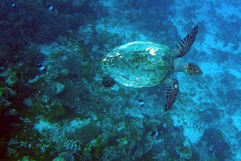 Maldives-snorkeling-Indian-Ocean-sea-turtle