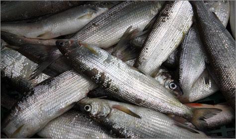Comofish_dailytraveler