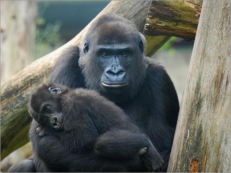 Gorillamombaby